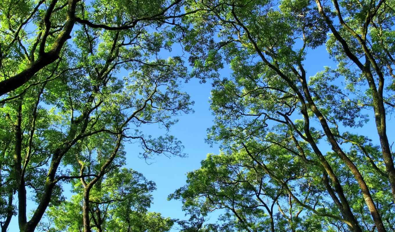 дерево, tall,