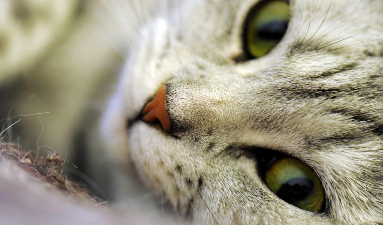 кот, макро, морда, шерсть, свет, white, кошки, картинку,
