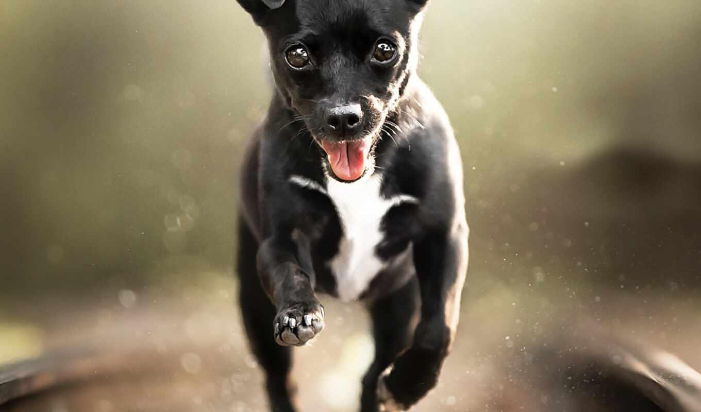 порода, собака, vulnerable, туземец