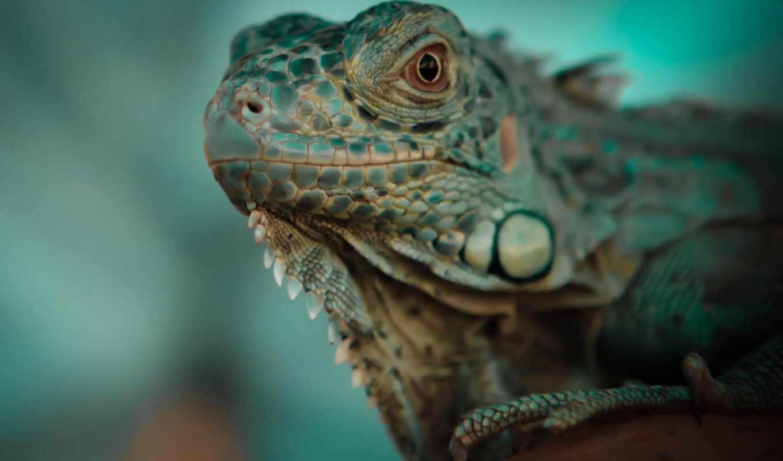 iguana, зелёный, golov