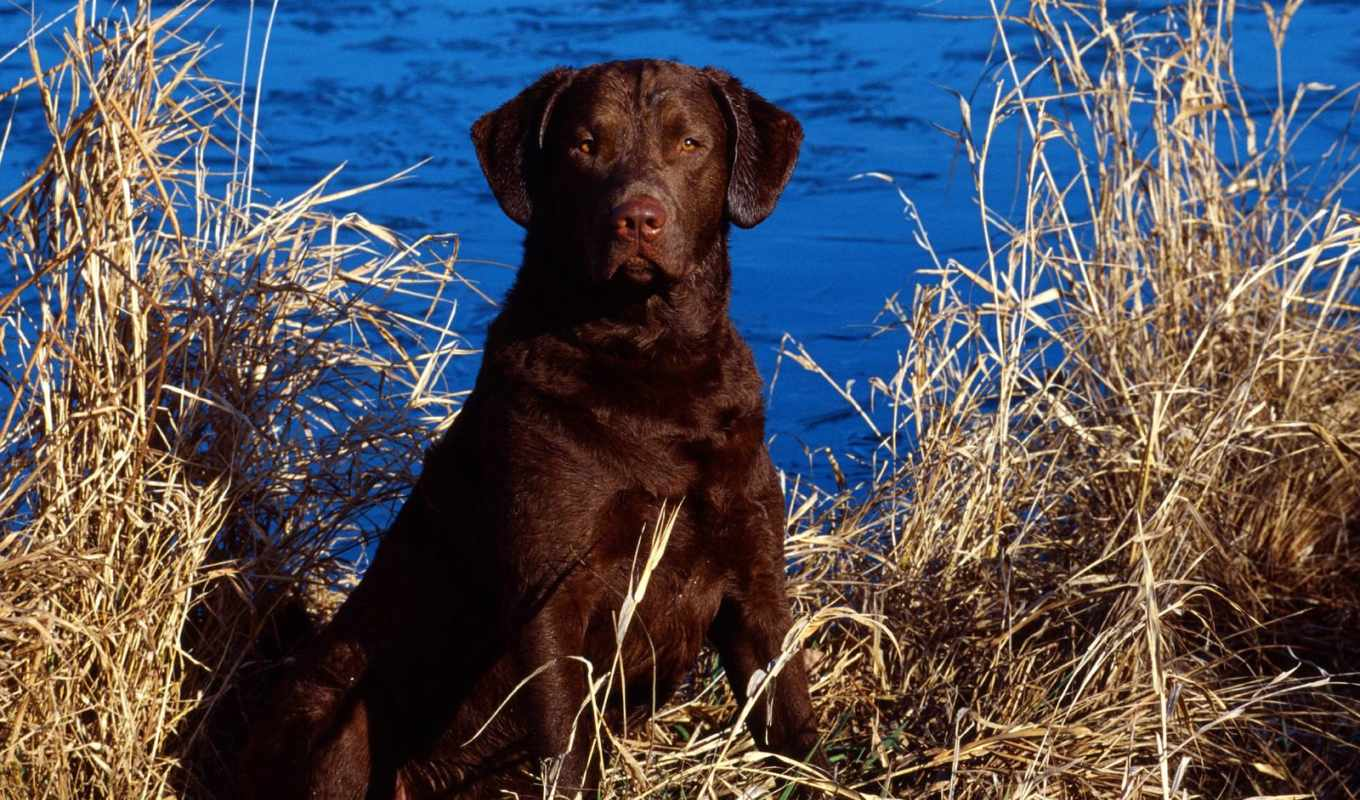 dog, wallpaper, and, cattails, animals, chocolate, labrador, wallpapers, dogs, чтобы, lab, картинку, free,