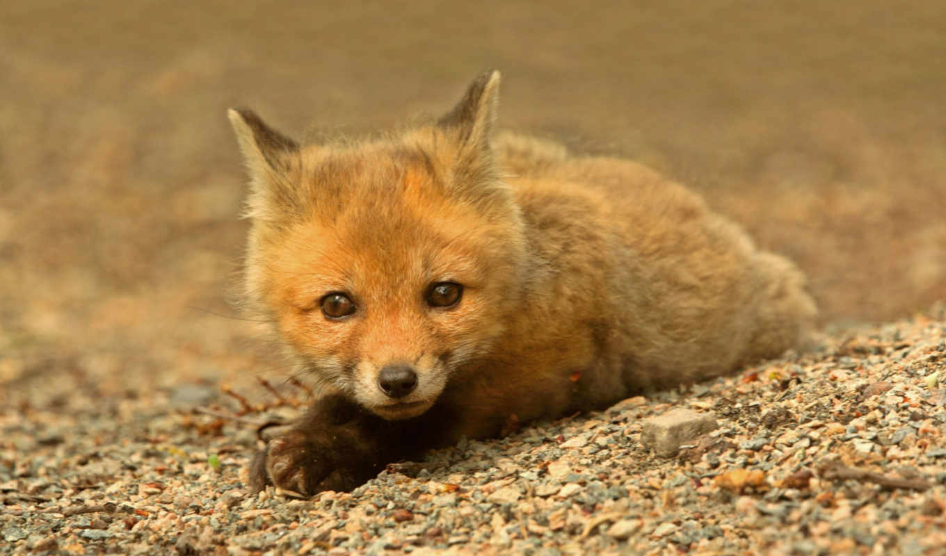 fox, red, kit, desktop, collection, computer, baby, part, here,
