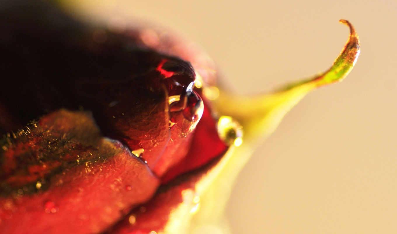 макро, makro, роза, капля, бутон, цветок,