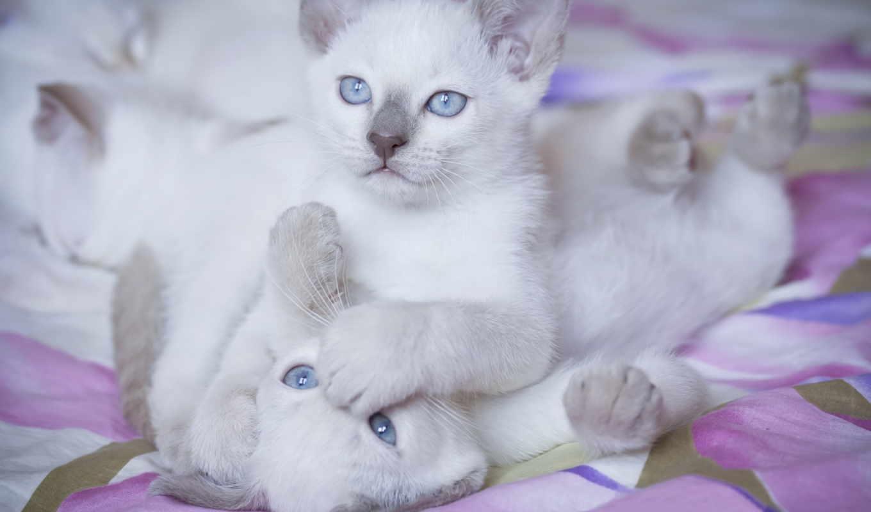 котята, кошки, животные, просмотреть, белые,