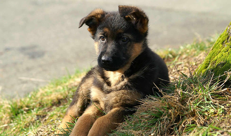 овчарки, немецкой, окрас, овчарка, немецкая, щенка, зооклубе, щенков, щенок,