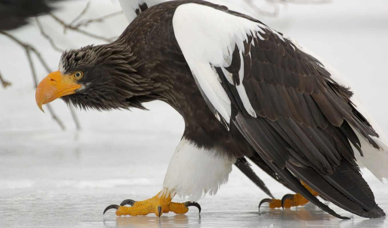 птицы, области, хищные, птица, гибнут, птенцы, орлан, fotohomka, территории, mergus,