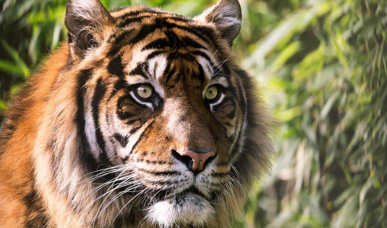сом, rovdyr, dels, тигра, леопарда,