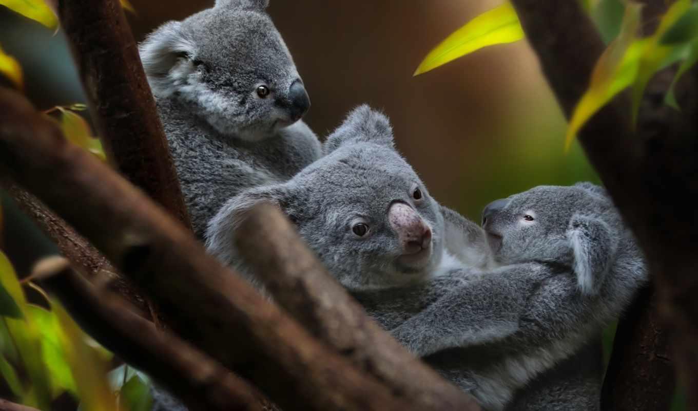 коала, iphone, animal, cute, filename, детёныш, uploaded, file,