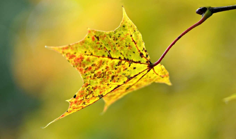 макро, размытость, лист, осень, код,