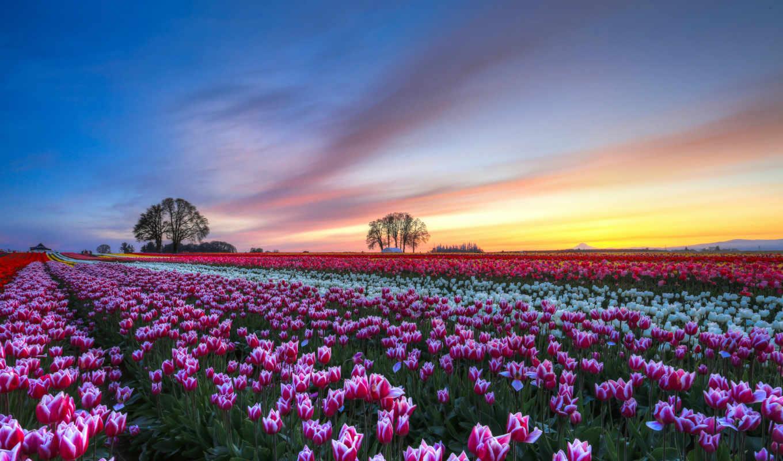 тюльпаны, тюльпанов, нидерланды, поля, фиолетовые, взгляд, white, мар,