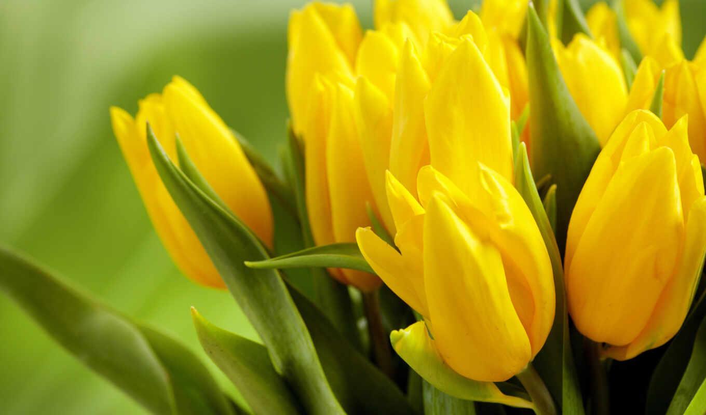 cvety, желтые, тюльпаны, бутоны, листья,