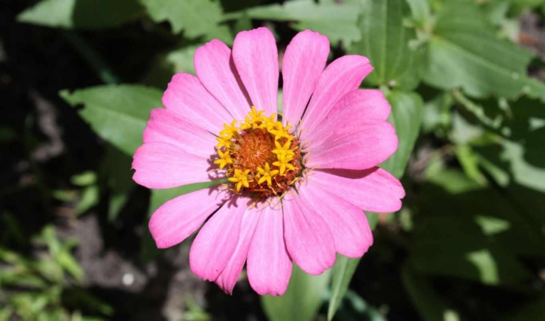 roza, цветок, лепестки, бутон, розовый, makro, капли, розовый,