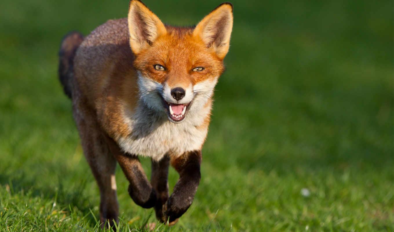 бежит, фокс, рыжая, морда, хитрый, смотреть,