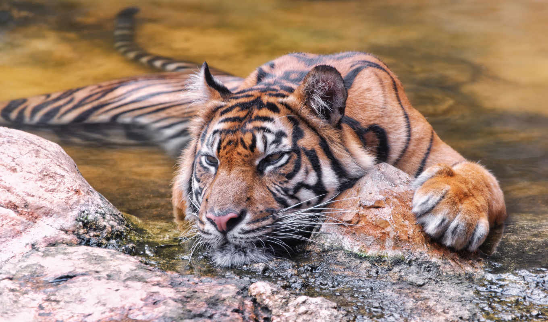тигр, sumatran, воде, тиграх, тигры, card, фактов, тигров, интересных,