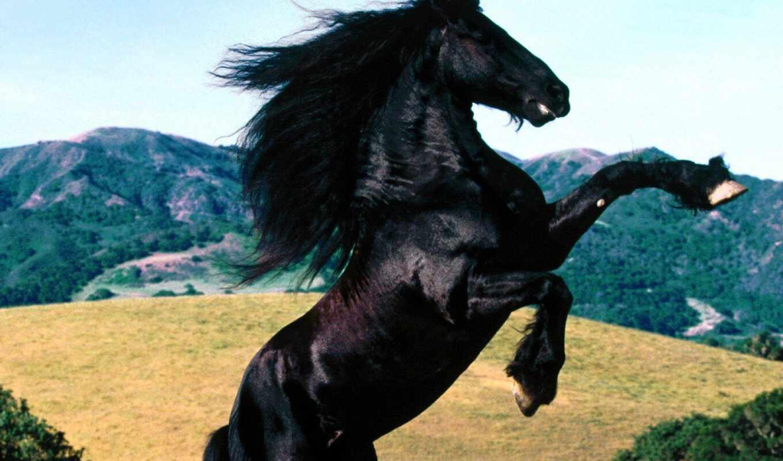 лошадь, mustang, black, порода, human, frisian, akulina, красивый, wild