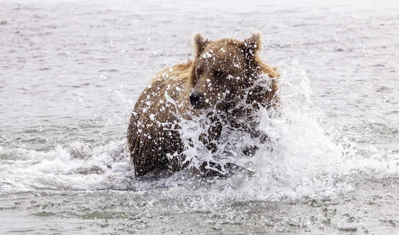 water, животные, für, без, лебеди, hintergrundbilder, kostenlose, брызги, регистрации, desktop, foto, медведь, нов,