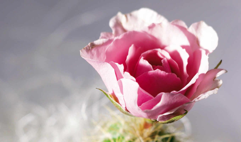розы, роза,