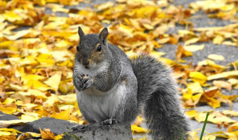 wiewiórka, jesień,