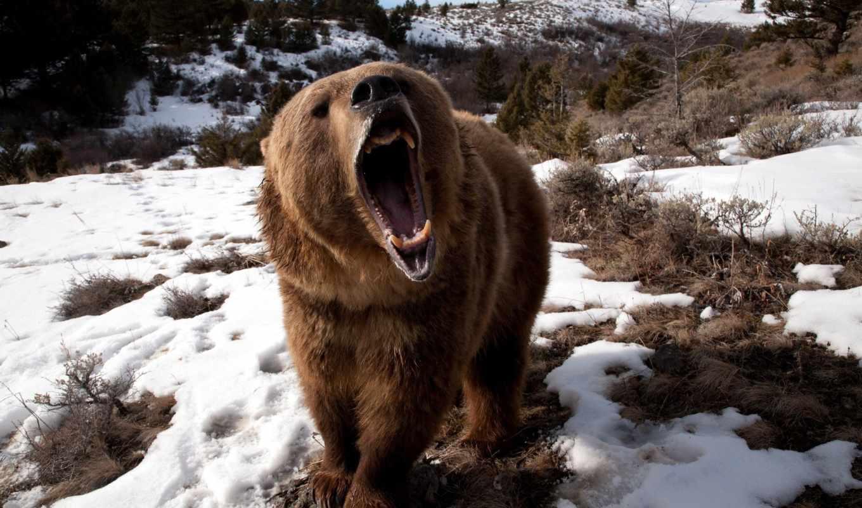white, снег, наши, медведь, быстро, тегам, медведи, медведей, медведя, roaring,