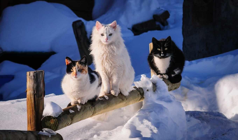 коты, winter, трио, кошки, снег, zhivotnye, дек, кота, кошек,