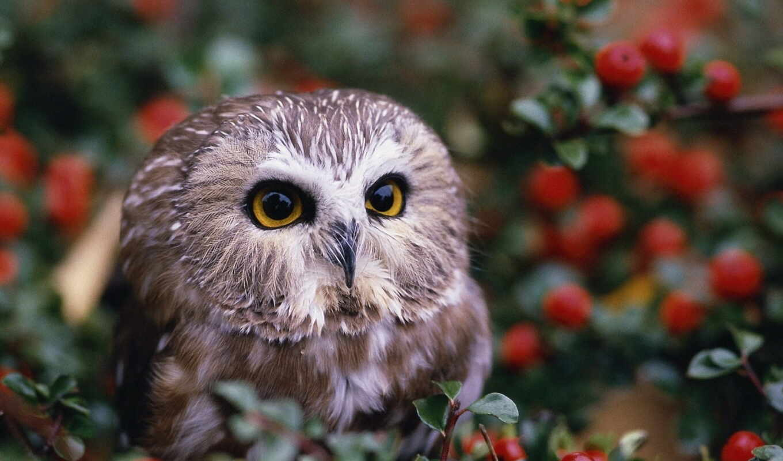 ягода, сова, little, animal, мохноногий, сыч, красное, совёнок, severoamerikanskii, птица, branch