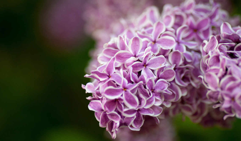 flowers, цветы, admin, сиреневые, she, mesaje, кровь, молоком, китоглав, bokeh, lilac, macro, but, you,