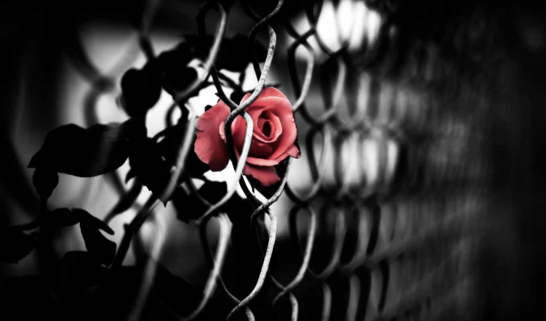 роза, красная, эмблема, сетка, черная,