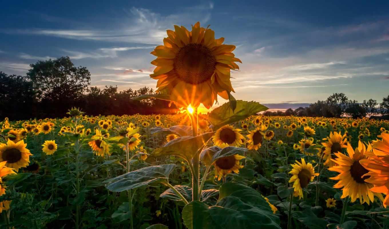 pinterest, ideas, sunflowers, об, amaneceres, animales, сол, puestas, подсолнух, girasoles,