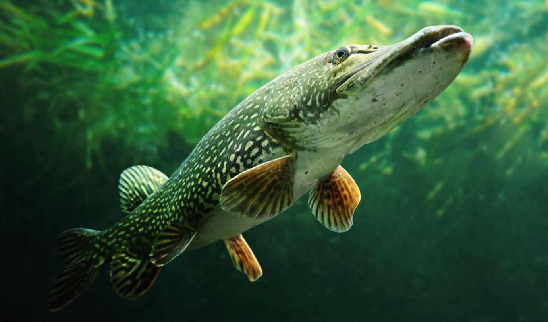 fish, щука, заборе, рыбалка, esox, команда, минск, glad, информ, zaryblenie