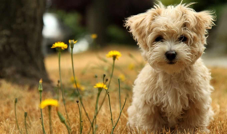 puppy, animal, dog, desktop, field, free, que, download,
