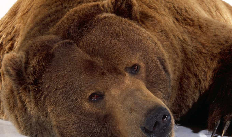 медведи, бурый, медведь, мишка, медведей, бурые,