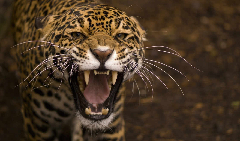 кот, дикая, пасть, хищник, rage, оскал, full, desktop, клыки, морда,