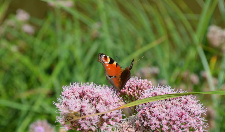 aglais, іо, wikipediapeacock, бабочка, сохранение