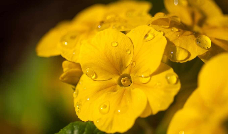 макро, капли, цветы, картинку, мыши, кнопкой, правой, выберите, ней,
