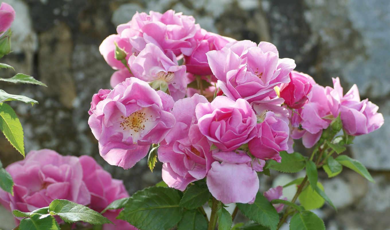 розы, розовый куст, лепестки,