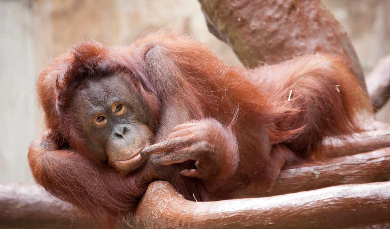 обезьяна, орангутан, animal, животные, ухмылка, дерево, эй, ты, id,