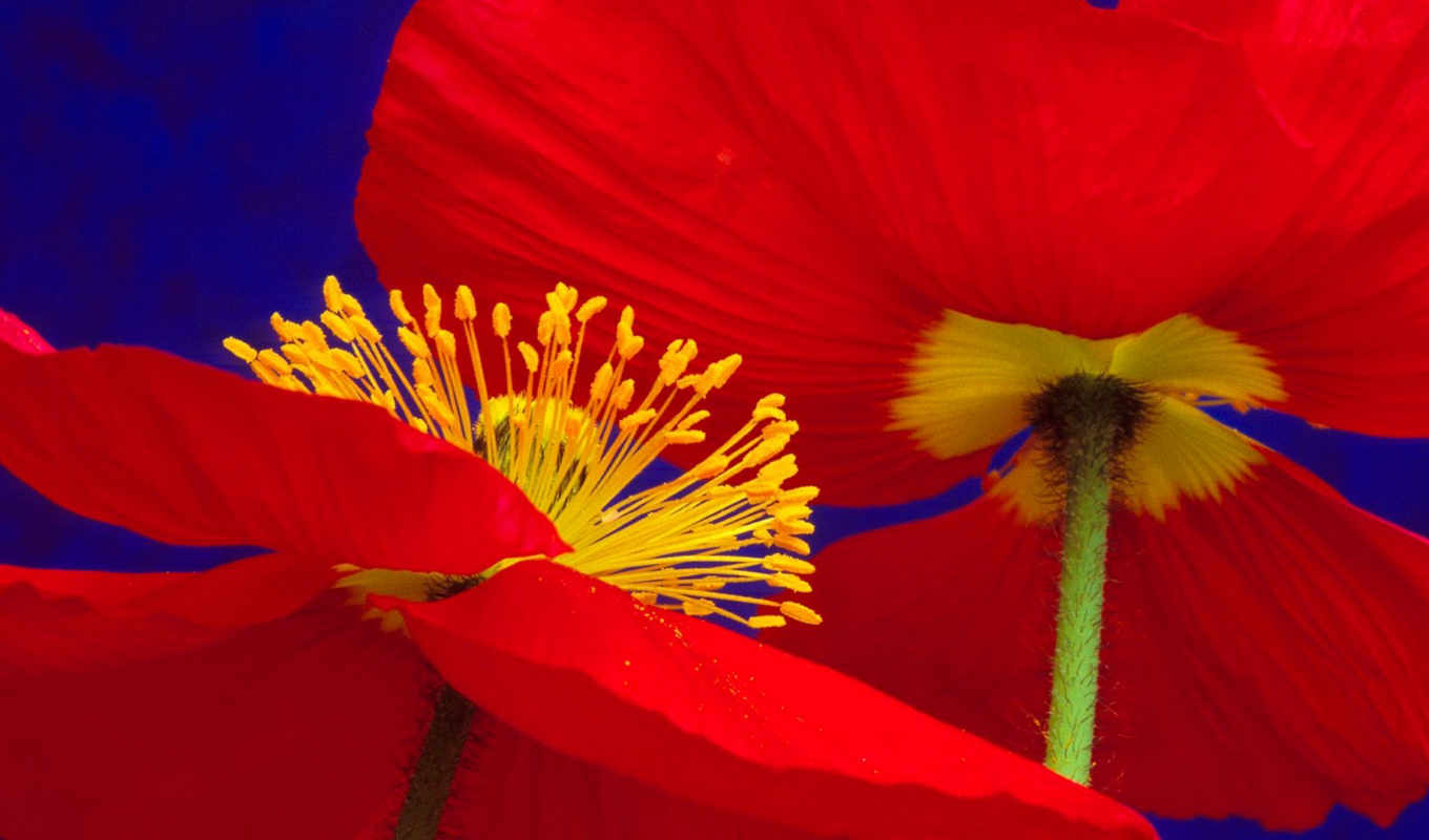 poppies, icelandic, flowers, free, iceland, red, closeup,