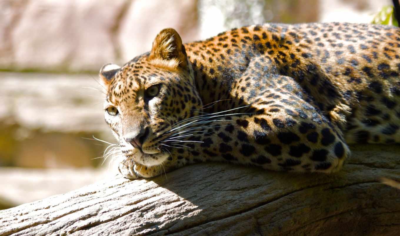 леопард, отдых, zhivotnye, zoo, branch, lying, дерево, задумчивый, rong, леопарда,