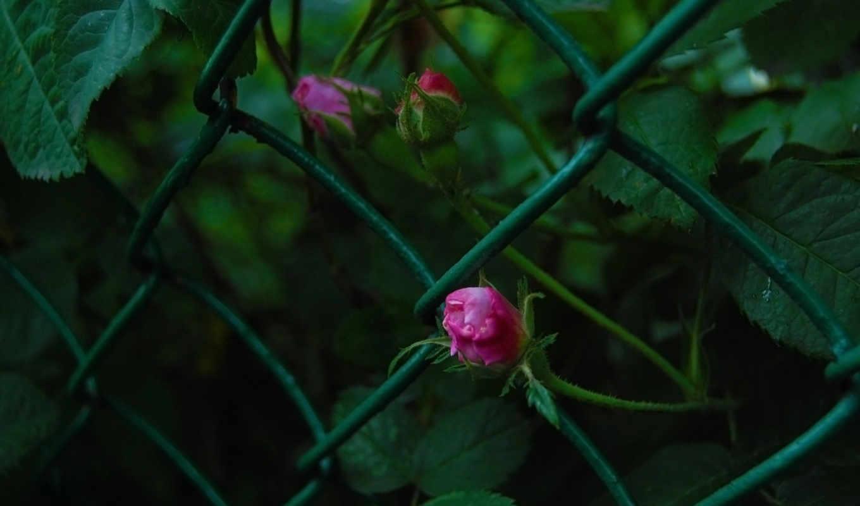 розы, макро, сетка, зелёный, красиво, цвети,