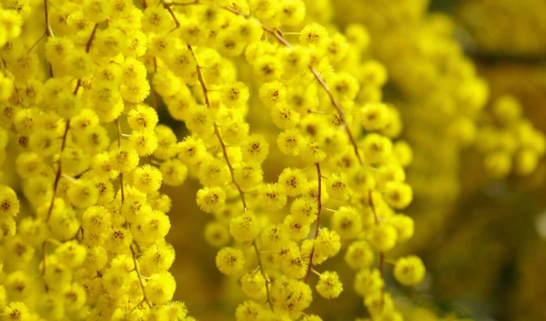 mimosa, cvety, мимозы, ветки, весна, yellow,