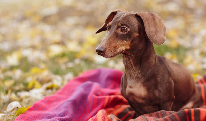 dachshund, коричневая, собаки, разных, таксы, зооклубе, картинка,