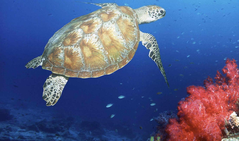 land, зелёный, shock, reply, world, underwater, черепахи, лидер, turtles,