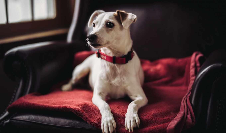 собака, armchair