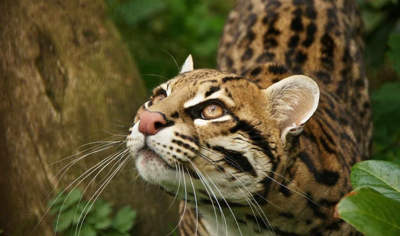 кот, сантиметров, little, this, свой, любимца, июня, оцелот, домашнего, великоват,