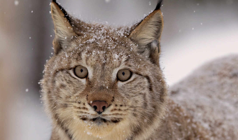 рысь, морда, взгляд, усы, уши, снег, смотрит, кот,