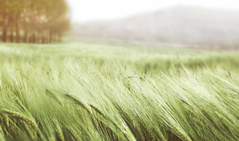 поле, summer, колосья, пшеница, природа, ветер, трава, зелёная,