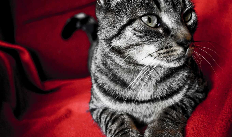 кошки, кот, zhivotnye, картинку, телефон, окрас, морда,