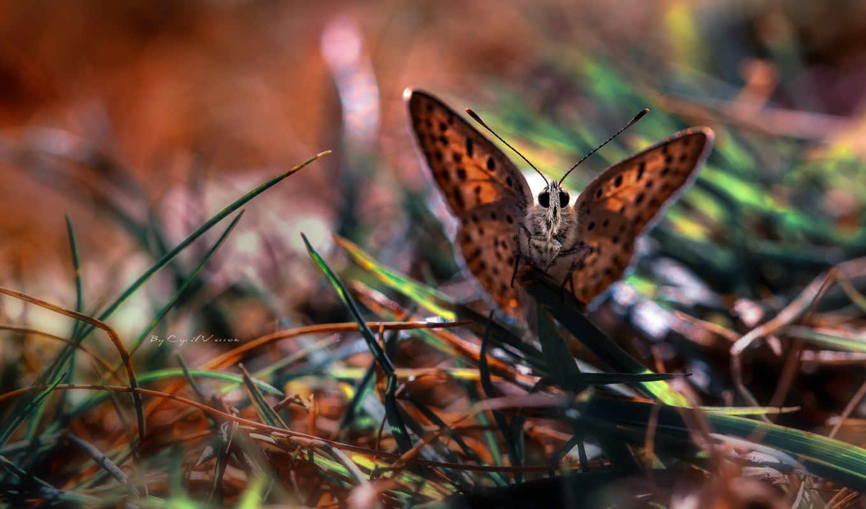 бабочка, макро, трава, картинка, desktop, животные, mocco,