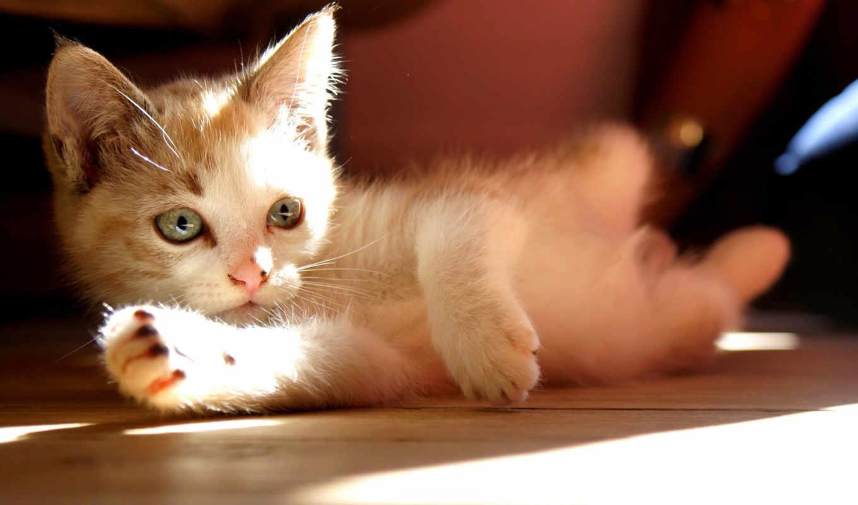 котенок, лежит, кот, cats, смотрит,