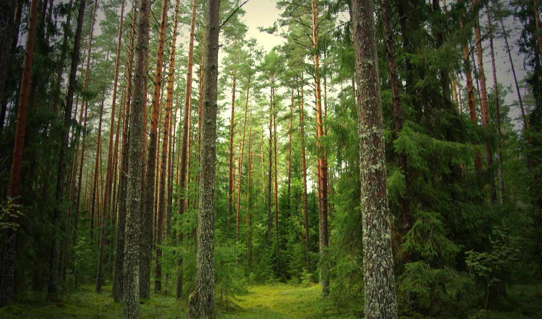 лес, сосны, eli, чаща, леса,